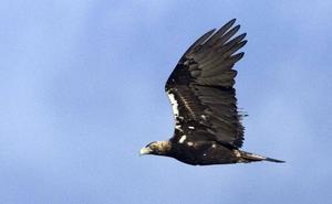 Recogen a un águila herido en el Camino de la Miranda