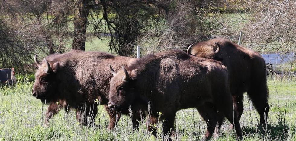 El bisonte regresa a Segovia después de miles de años