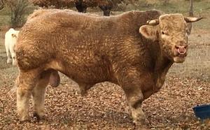 Los genes del toro semental 'Hortensia' viajan a México