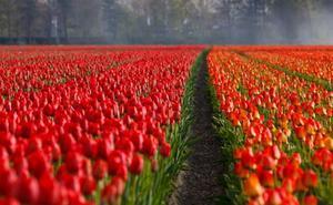 Holanda y sus flores, los mejores sitios para contemplarlas