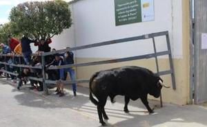 Un toro da el susto en Laguna al levantar una talanquera al final del encierro