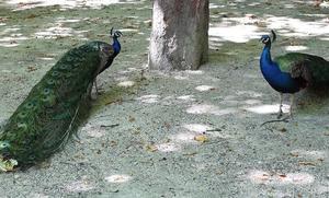 Los pavos reales del Campo Grande también 'libran' en festivo