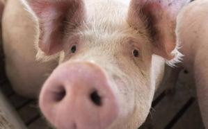 Nace la Asociación Abulense de Empresarios de Granjas de Porcino
