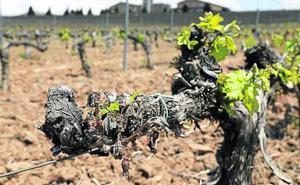 Las heladas dañan el brote de la uva en el sur de la Ribera de Duero y el agua afecta a Rueda