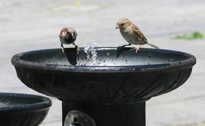 Los gorriones indican la presencia de plomo en el ambiente