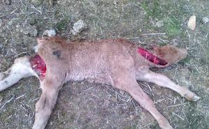 600 ataques de lobo en cuatro meses en Ávila