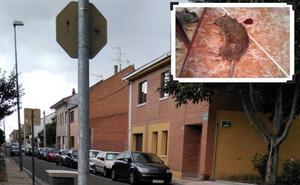 Un vecino de Arroyo se despierta en mitad de la noche con una rata en la cara