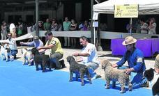 Los mejores perros compiten en Aguilar de Campoo