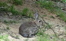 Denunciado por cazar conejos en una localidad de Burgos