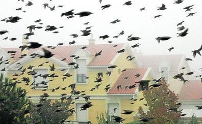 El censo de estorninos se cuadruplicó en solo tres años y alcanzó los 290.000