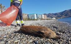 Aparece un jabalí muerto en la playa de Velilla en Almuñécar