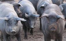 La primera cotización del cerdo ibérico de la campaña marca un precio «histórico»