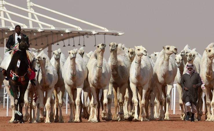 Los camellos más bellos