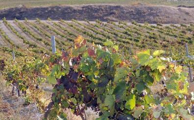 Denuncian dos robos de seis hectáreas de postes de espaldera en viñedos de Valladolid