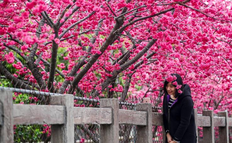 Cerezos en flor en Taiwán