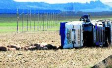 Vuelca un camión cargado de cerdos cerca de Olmedo