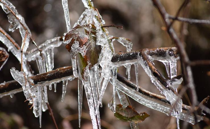 El hielo brota de los árboles en Brañosera