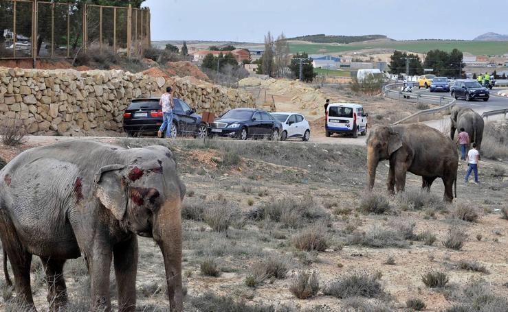 Una manada de elefantes corta la Autovía de Albacete