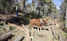 La 'saca' tradicional del pino