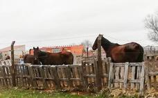 Denuncian la situación de abandono que sufren varios caballos en Fuentepelayo