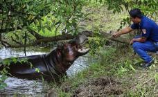 Qué fue de los hipopótamos de Pablo Escobar