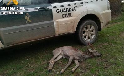 La Guardia Civil de Palencia investiga a un cazador por abatir un corzo en Villabellaco