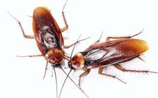 Alertan del del «muy alto» riesgo de una plaga de cucarachas el próximo verano