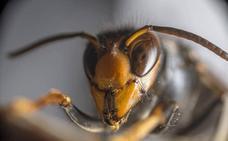 Detectado un foco de avispilla del castaño en varias plantaciones y sotos de Hermisende