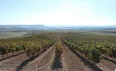 Bodegas Emilio Moro pone en marcha un sistema de 'abono a la carta' de los viñedos con drones