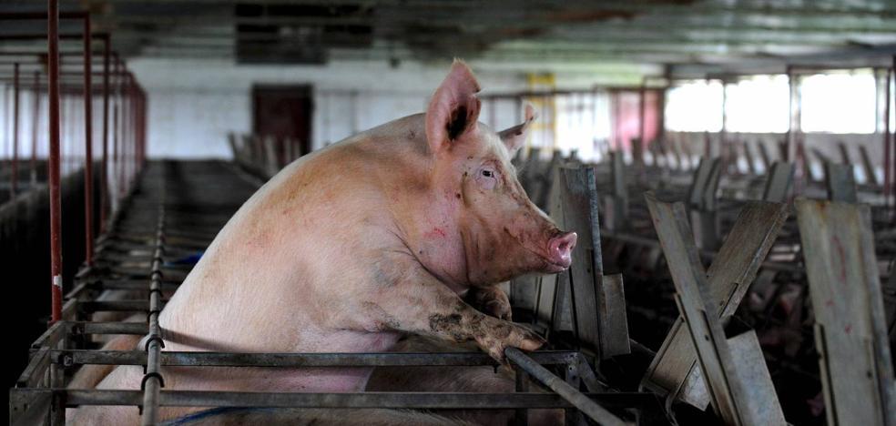 Soria se rebela contra las macrogranjas de porcino