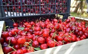 Las últimas lluvias provocan la pérdida de al menos la mitad de la cosecha de cereza temprana del Bierzo