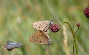 Por salvar a la mariposa hormiguera oscura