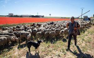 Un rebaño de 1.600 cabras y ovejas atraviesa Castilla y León hasta el 30 de junio