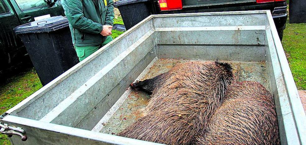 Los cotos de caza de Ávila reciben 184 jabalíes de países del Este