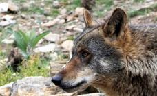 Más de 80.000 personas visitan el Centro del Lobo desde su apertura en 2015