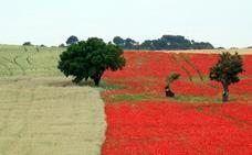 El campo se tiñe de rojo amapola