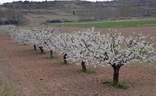 Las lluvias provocan veinte mil kilos de pérdidas en cerezas en el valle del Tiétar