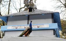 El pavo real herido en un atropello se recupera en el núcleo zoológico de Fresno el Viejo