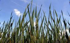 El aumento de cereales en los regadíos y las lluvias provocan una menor demanda de agua