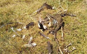 Asaja Salamanca alerta de un nuevo ataque de buitres a animales vivos en Horcajo Medianero