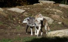 Un Trabajo Fin de Grado analiza la probabilidad de producirse ataques de lobos en Ávila