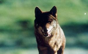 El Tribunal Superior de Justicia de Castilla y León mantiene cautelarmente la paralización de la caza del lobo