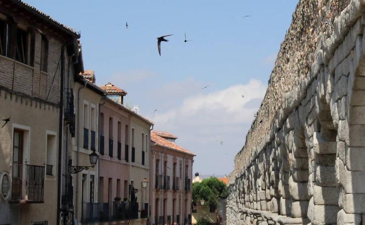 Control de la colonia de vencejos en Segovia