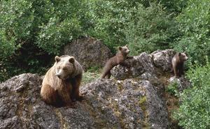 El incremento de osos en la Cordillera Cantábrica obliga a aprobar protocolos de prevención