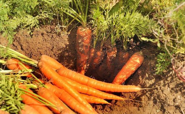 Zanahoria Con Apellido Local El Norte De Castilla +47.000 vectores, fotos de stock y archivos psd. zanahoria con apellido local el