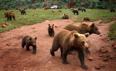 El oso pardo consolida su crecimiento en la Cordillera Cantábrica
