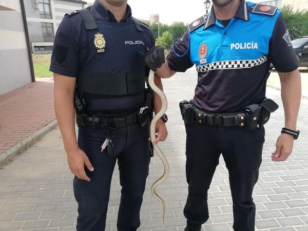 Capturan una serpiente de más de un metro que recorría las calles de Ávila capital