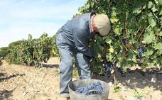 Las bodegas del Ribera del Duero deberán comunicar el inicio de la vendimia al menos 24 horas antes