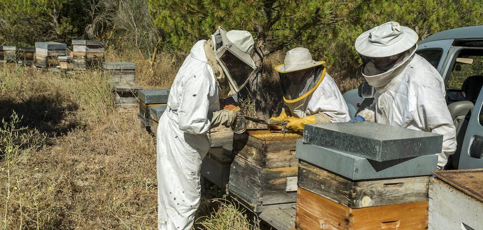 La «óptima y tardía» floración dejará este año una media de tres kilos más de miel por colmena