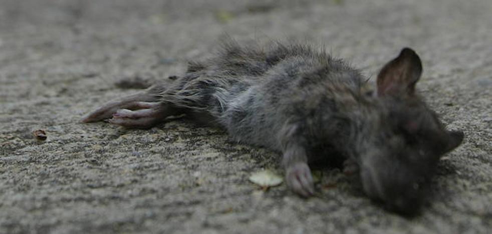 «Tenemos dos nidos de ratas en el barrio y a nadie le importa»